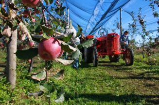 raccolta mele generica
