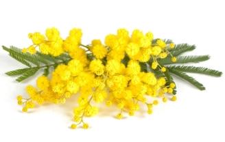 pianta-mimosa-biella24
