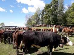 occhieppo-sup-festa-bestiame-19-biella24-002