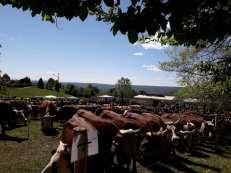 occhieppo-sup-festa-bestiame-19-biella24-004